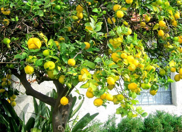 زغال لیمو